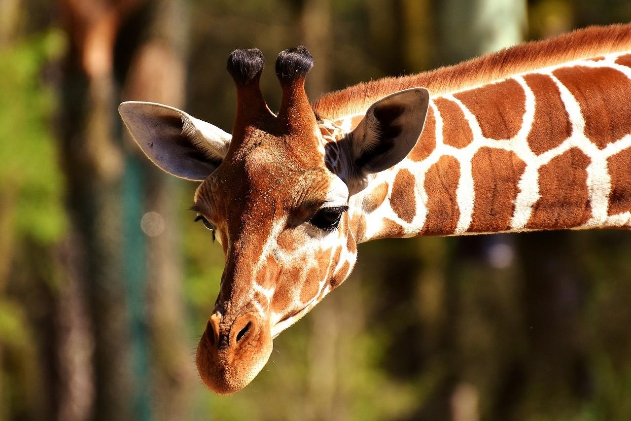Dürfen Juden Giraffen essen - Halacha - Kaschrut